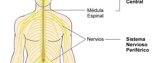 El sistema nervioso -video-